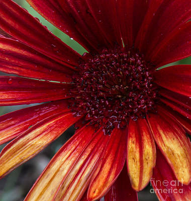 Wall Art - Photograph - Vermilion Beauty by Dana Crandell