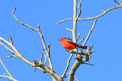 Photograph - Vermilion Flycatcher 2 by Shoal Hollingsworth