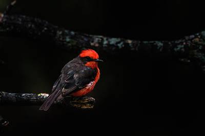 Photograph - Vermilion Flycatcher by Debra Martz