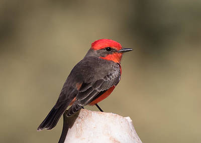 Photograph - Vermilion Flycatcher In Northern California by Kathleen Bishop