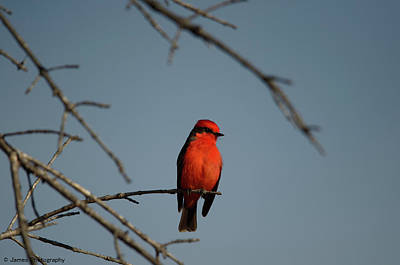 Photograph - Vermilion Flycatcher by James Petersen