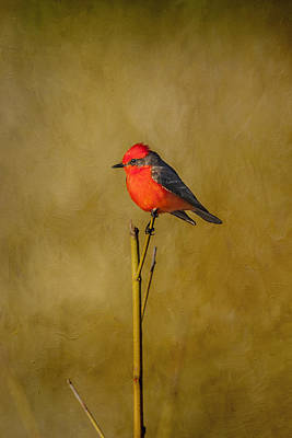 Photograph - Vermilion Flycatcher - Textured by Kathy Adams Clark