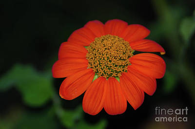 Photograph - Vermilion Orange Flower by Donna Brown