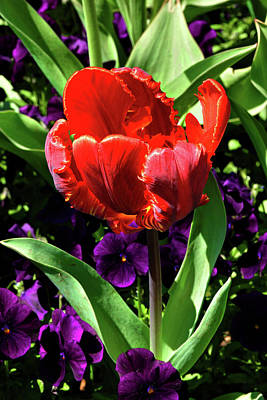 Photograph - Vermilion Tulip  by Cate Franklyn