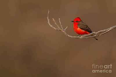 Vermillion Flycatcher On Early Spring Perch Art Print by Max Allen