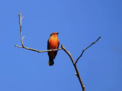 Photograph - Vermillion Flycatcher by Richard Stephen