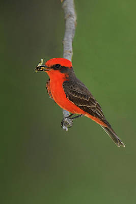 Photograph - Vermillion Flycatcher With Bee by Alan Lenk