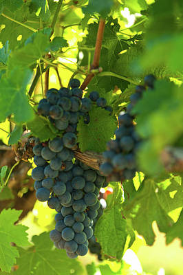 Photograph - Vermont Wine Grapes by Paul Mangold