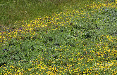 Photograph - Vernal Pool Wildflowers by Suzanne Luft
