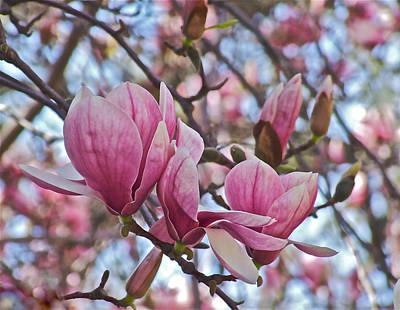 Photograph - Vernon Magnolias With Buds by Janis Nussbaum Senungetuk