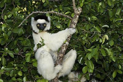 Photograph - Verreaux's Sifaka by Michele Burgess
