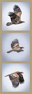 Tryptich Photograph - Vertical Eagle Triptych by Paul Freidlund