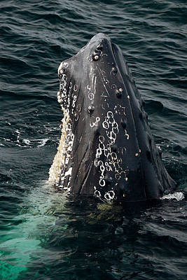 Photograph - Vertical Humpback by Lawrence Boothby