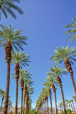 Of Flowering Palm Tree Photograph - Vertical Palms by David Zanzinger