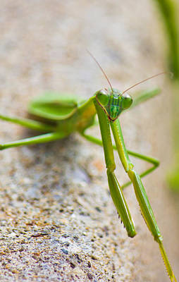 Photograph - Vertical Praying Mantis by Jonny D