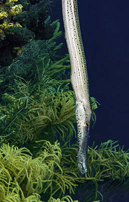 Photograph - Vertical Trumpet Fish by Jean Noren