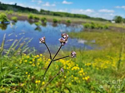 Photograph - Vervain In The Wetlands by Maria Urso