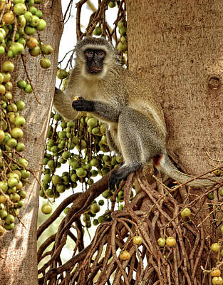 Photograph - Vervet Monkey by Mitchell R Grosky