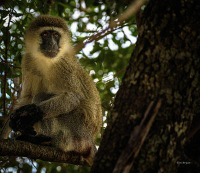 Photograph - Vervet Monkey by Tim Bryan