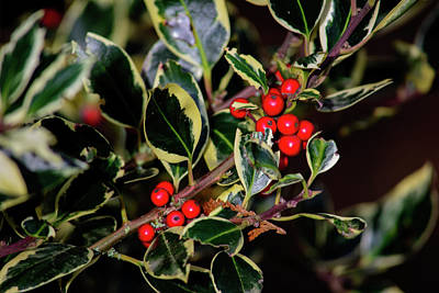 Photograph - Very Berry Jolly Holly Christmas by Tikvah's Hope