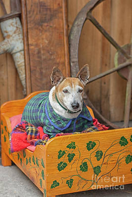 Art Print featuring the photograph Very Old Pet Dog In Clothes On Own Bed by Patricia Hofmeester