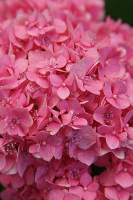 Very Pink Hydrangea Blossoms 2578 H_2 Art Print