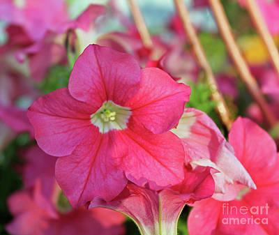 Photograph - Very Pink Petunia by Dan De Ment
