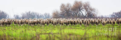 Photograph - Very Sheepish 2 by Anthony Bonafede