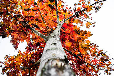 Maple Leaf Art Photograph - Vibrancy by Shelby  Young