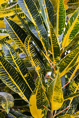 Photograph - Vibrant Croton Plant by Suzanne Luft