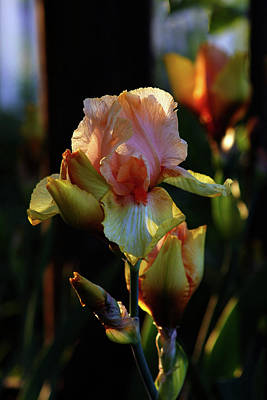 Photograph - Vibrant Iris 6764 H_2 by Steven Ward