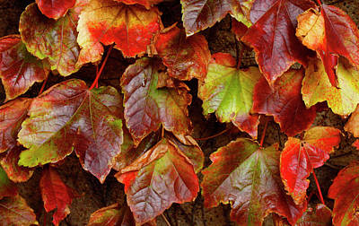 Photograph - Vibrant Ivy by Cate Franklyn