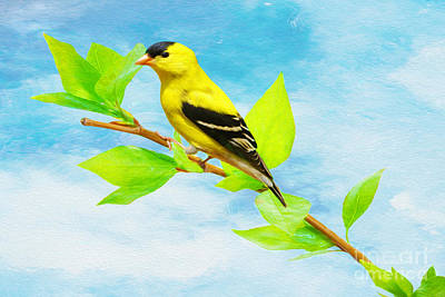 Finch Photograph - Vibrant Male American Goldfinch by Laura D Young