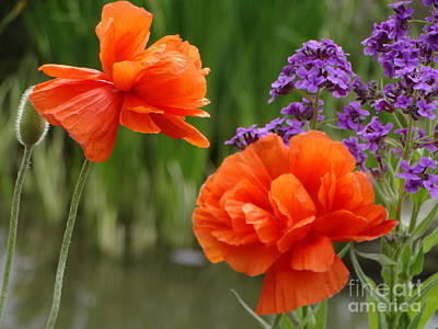 Photograph - Vibrant Orange Poppies by Rebecca Overton