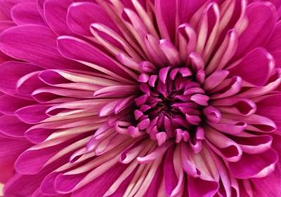 Photograph - Vibrant Pink Dahlia by Bruce Bley