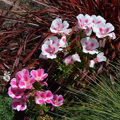 Photograph - Vibrant Pink Flowers At Mendocino Botanical Gardens by Carla Parris