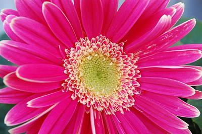 Gerber Daisy Photograph - Vibrant Pink Gerber Daisy by Amy Fose