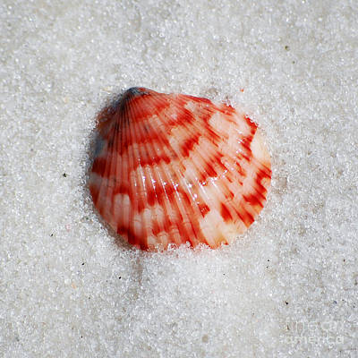 Photograph - Vibrant Red Ribbed Sea Shell In Fine Wet Sand Macro Square Format by Shawn O'Brien