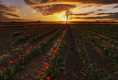 Vibrant Red Rows Of Tulips In Skagit At Sunset Art Print by Mike Reid