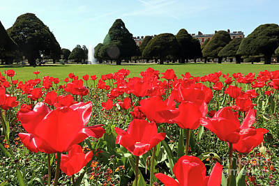 Photograph - Vibrant Red Tulips At Hampton Court by Julia Gavin