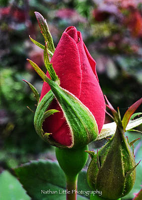 Photograph - Vibrant Rose Bud by Nathan Little
