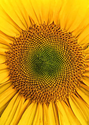 Photograph - Vibrant Sunflower by Nathan Little