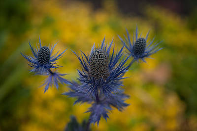Thistle Photograph - Vibrant Thistles by Mike Reid