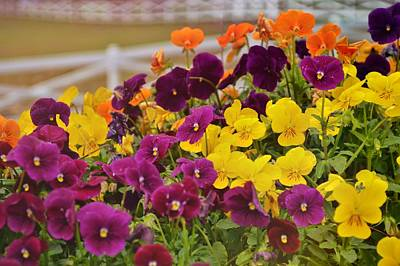 Photograph - Vibrant Violas by JAMART Photography