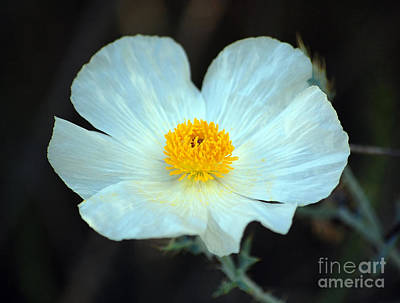 Photograph - Vibrant White And Yellow Texas Wildflower by Shawn O'Brien