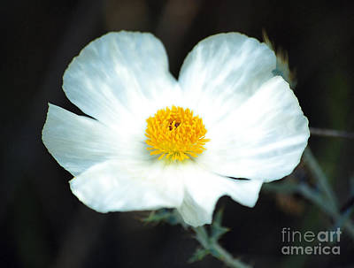 Photograph - Vibrant White And Yellow Wildflower Diffuse Glow Digital Art by Shawn O'Brien