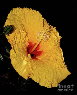 Photograph - Vibrant Yellow Hibiscus By Kaye Menner by Kaye Menner