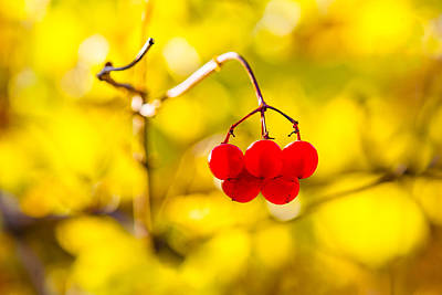 Photograph - Viburnum Berries - Natural Olympic Emblem by Alexander Senin