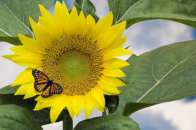 Photograph - Viceroy And Sunflower by Wade Clark