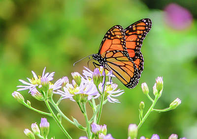 Photograph - Viceroy Butterfly by Alan Campbell